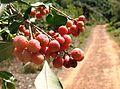 Olinia emarginata tree - South Africa 9.JPG