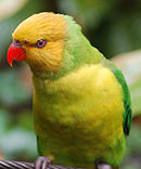 A green parrot with a yellow-green underside and a yellow head