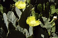Opuntia-engelmanii-costappp.jpg