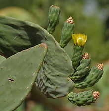 Opuntia ficus-indica (Indian Fig) flowering at Secunderabad, AP W IMG 6673.jpg