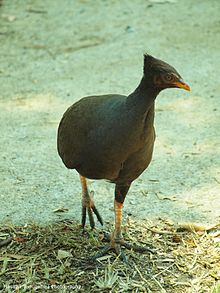 Orange-Footed Scrubfowl.jpg