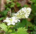 Orange-tip male underside - Flickr - gailhampshire.jpg