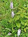 Orchidées Saint-Georges-Nigremont D32 près les Cantines (8).jpg