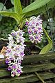 Orchideje v Troji, Rhynchostylis gigantea, 01.jpg