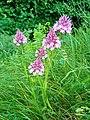 Orchis pyramidal - Ausson 01.jpg