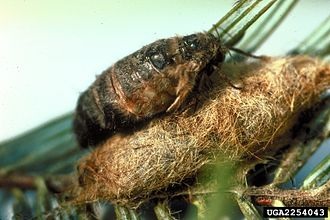 Orgyia pseudotsugata - Adult female