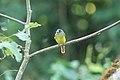 Ornate Flycatcher (Myiotriccus ornatus) 2015-06-15 (1) (40329329061).jpg