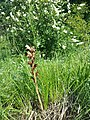 Orobanche caryophyllacea sl1.jpg
