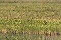 Oryza sativa - Asian rice, Mersin 2018-09-23 01.jpg