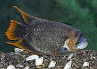 Osphronemidae - Osphronemus laticlavius.JPG