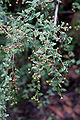 Osteomeles schwerinae var microphyla jeunes fruits.jpg