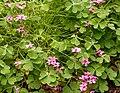 Oxalis articulata - Jardim Botânico da Madeira 01.jpg