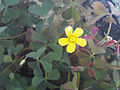 Oxalis corniculata FlowerCloseup 28Mach2009 SierraMadrona.jpg