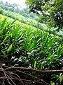 Pépinière du centre de recherche agricole plantes pérennes Pobé CRA-PP Pobé.jpg