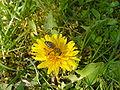 Pčela na maslačku 2.JPG