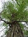 P1000669 Salix alba (Vitellina) (Salicaceae) Plant.JPG