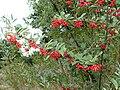 P1070065-Cotoneaster-bullatus.JPG