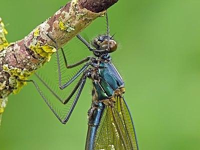 Banded Demoiselle (Calopteryx splendens). Male.