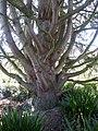 P1320136 Angers arboretum GA arbre xxxx rwk.jpg