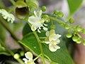 PB159649 Trichostigma octandrum (Petiveriaceae).jpg