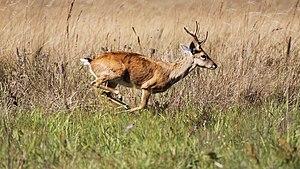 Pampas deer - Pampas deer running in Serra da Canastra National Park.