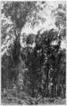 PSM V82 D030 Grove of mauritia palms in a savanna in surinam.png