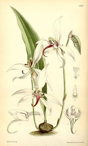 George Thomson (botanist) - Pachystoma thomsonianum