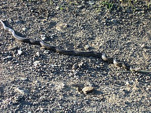 Pacific gopher snake - Image: Pacific Gopher Snake