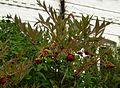 Paeonia delavayi - Flickr - peganum (3).jpg