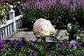 Paeonia lactiflora Le Cygne 0zz.jpg