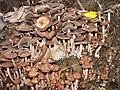 Panaeolus.subbalteatus.2.jpg