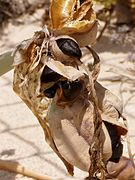 Pancratium maritimum seeds.jpg