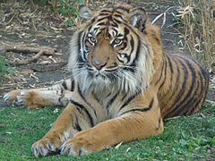 Panthera tigris sumatrae in captivity 02.JPG