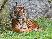 Sumatra Kaplanı