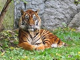 Panthera tigris sumatran subspecies.jpg
