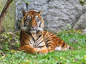 Palm oil production in Indonesia - Sumatran tiger (Panthera tigris)