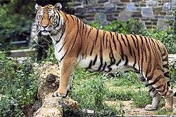 老虎,係最大型嘅貓科動物
