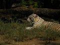 Pantheras Tigris.jpg