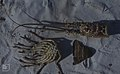 Panularis argus. Spiny lobser, dismembered, 10 legs. (38839640462).jpg