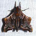 Paonias myops - Small-eyed Sphinx.jpg