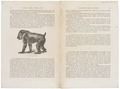 Papio leucophaeus - 1700-1880 - Print - Iconographia Zoologica - Special Collections University of Amsterdam - UBA01 IZ20100066.tif