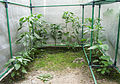 Paprika & Chili im Gewächshaus (14696671791).jpg