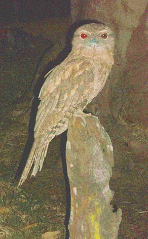 Papuan frogmouth - Papuan frogmouth, Cooktown, Queensland