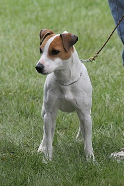 Jack Russell-terrier