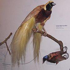 Paradisaea apoda, jantan - Field Museum