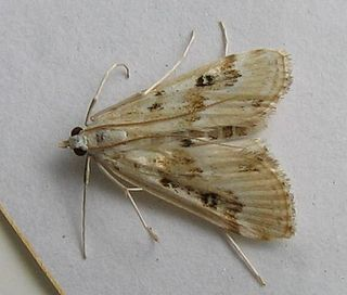 <i>Parapoynx</i> Genus of moths