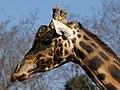 Parco Faunistico Le Cornelle (Giraffa) - panoramio.jpg