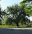 Park Malickiego topola.jpg