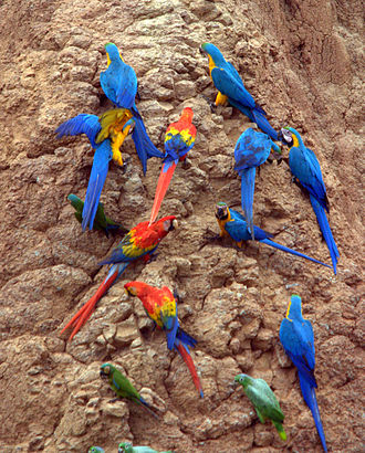 Macaw - Macaws and Southern mealy amazons at a clay lick in Tambopata National Reserve, Peru