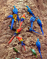 Parrots at a clay lick -Tambopata National Reserve, Peru-8c.jpg